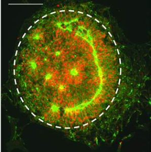 Engineering Tissue Morphogenesis